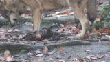 wolf eating its prey Footage
