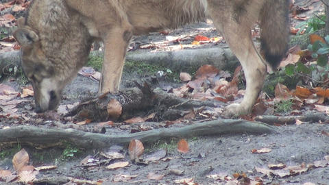 wolf eating its prey Stock Video Footage