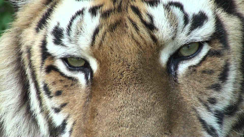 tiger eyes 1 Stock Video Footage