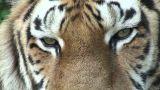 tiger eyes 1 Footage