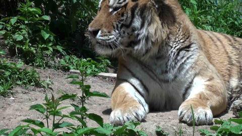 tiger portrait Stock Video Footage