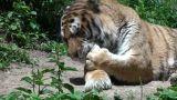 tiger portrait Footage