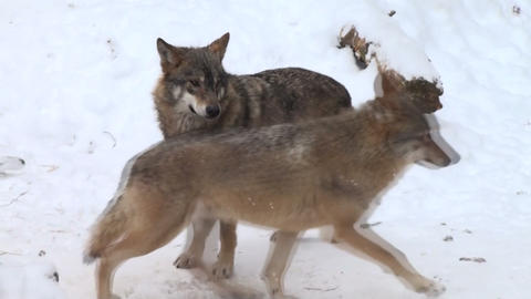 two wolf Stock Video Footage