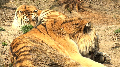 tigers resting Stock Video Footage