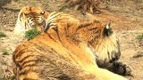 tigers resting Footage