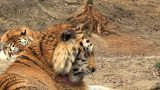 group of tigers at rest Footage