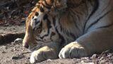 tiger sleeping Footage