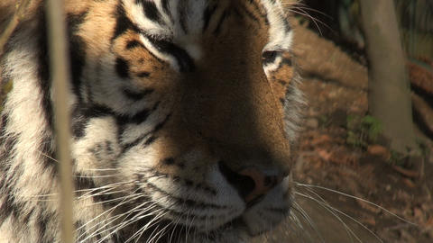 tiger head Stock Video Footage