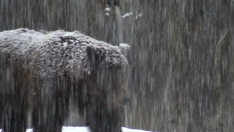 bears in snowflakes Stock Video Footage