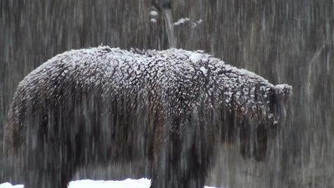 bears in snowflakes Stock Video Footage