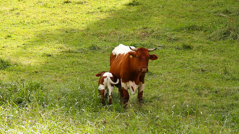 Cow and Calf 02 Stock Video Footage