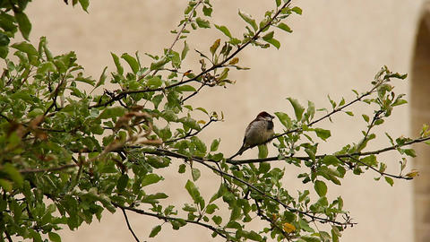 Sparrow on Tree 01 Stock Video Footage