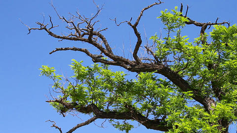Old Tree under Blue Sky Stock Video Footage