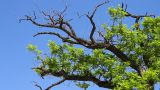 Old Tree Under Blue Sky stock footage