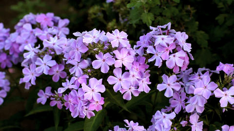 Phlox stock footage
