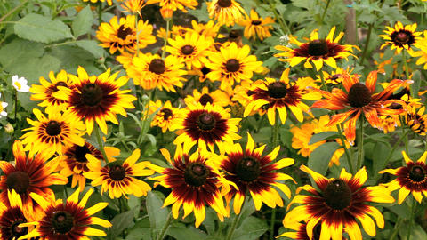 rudbeckia Stock Video Footage