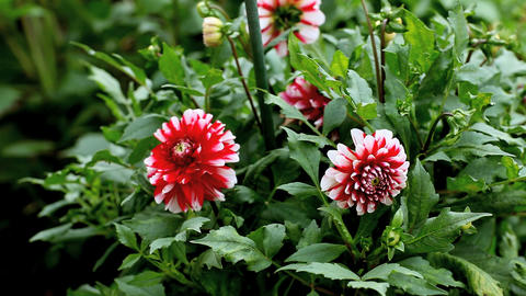 Striped Dahlia Stock Video Footage