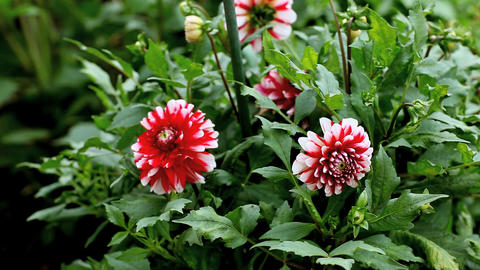 Striped Dahlia Footage