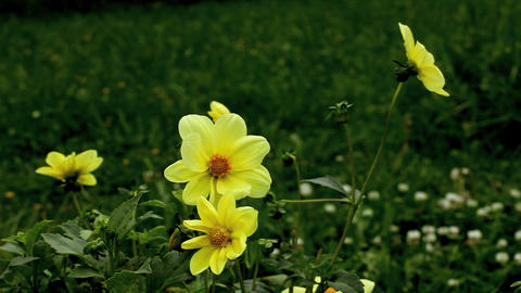 yellow dahlia Stock Video Footage