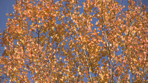 Birch leaves Stock Video Footage