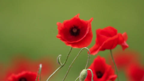 Red poppies on green field 02 Footage