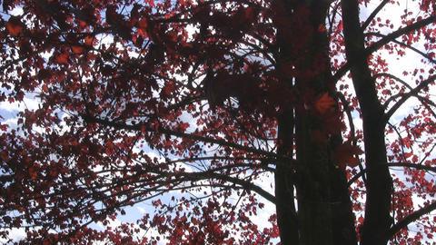 Mapel tree Stock Video Footage