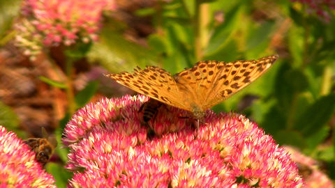Butterfly and bees Stock Video Footage
