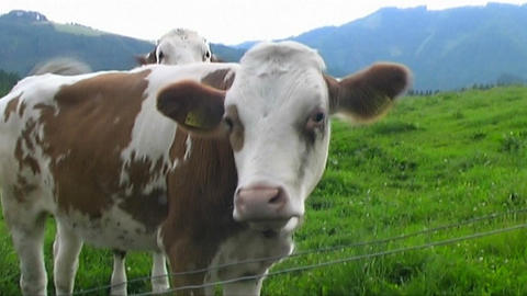 Cows Stock Video Footage