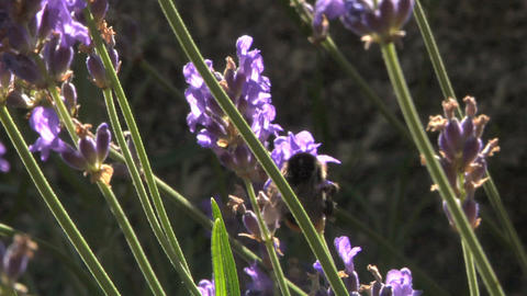 Bee 101 Stock Video Footage