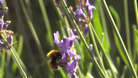 Bee 103 Stock Video Footage
