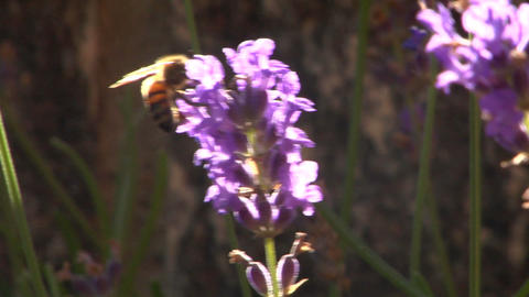 Bee 105 Stock Video Footage