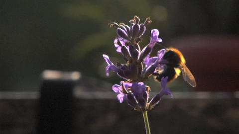 Bee 107 Stock Video Footage