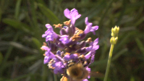 Bee 202 Stock Video Footage