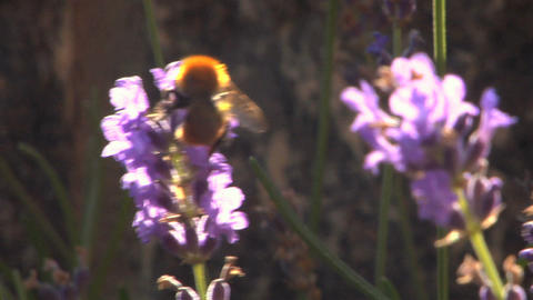 Bee 204 Stock Video Footage