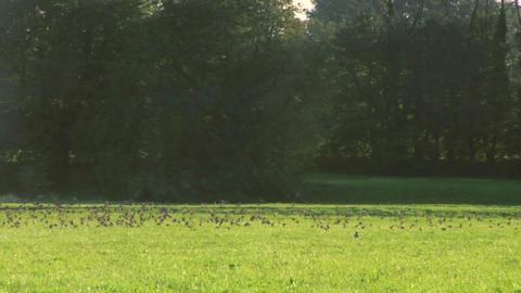 bird flock 02 Stock Video Footage