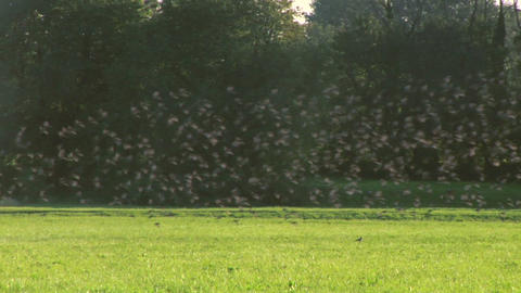 bird flock 02 Stock Video Footage