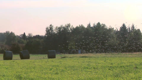 bird flock 04 Stock Video Footage