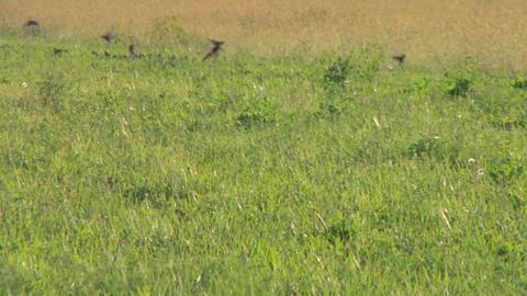 bird flock 06 Stock Video Footage