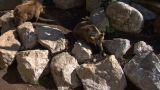 brown bear 02 Footage