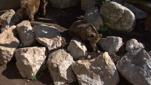 brown bear 02 Stock Video Footage