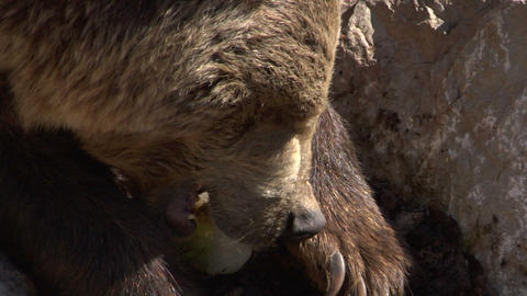 brown bear 04 Stock Video Footage