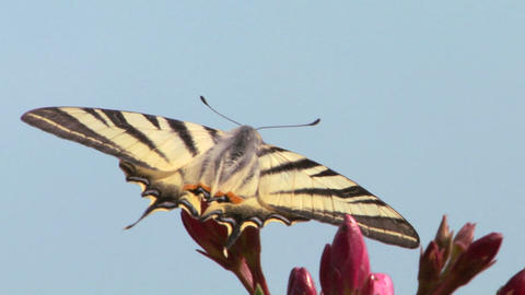 butterfly tiger 03 Stock Video Footage