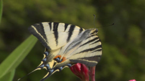 butterfly tiger 05 Stock Video Footage