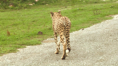 cheetah 01 Stock Video Footage