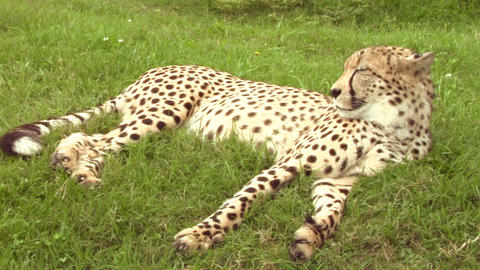 cheetah 03 Stock Video Footage