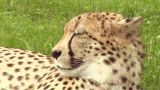 Cheetah 03 stock footage