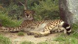 cheetah 05 Footage