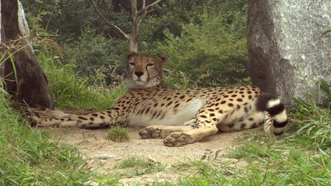 cheetah 05 Stock Video Footage