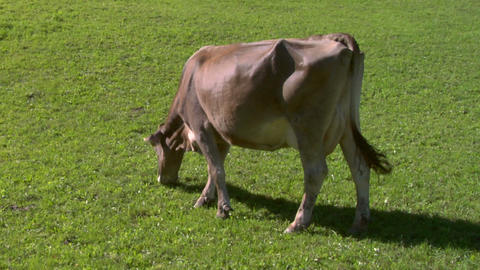 cow 01 Stock Video Footage