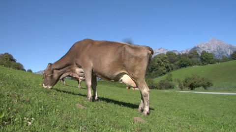 cow 03 Stock Video Footage